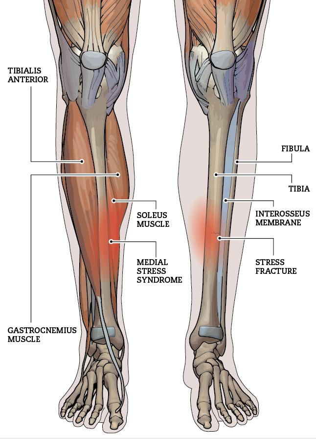 Anatomija-goleni