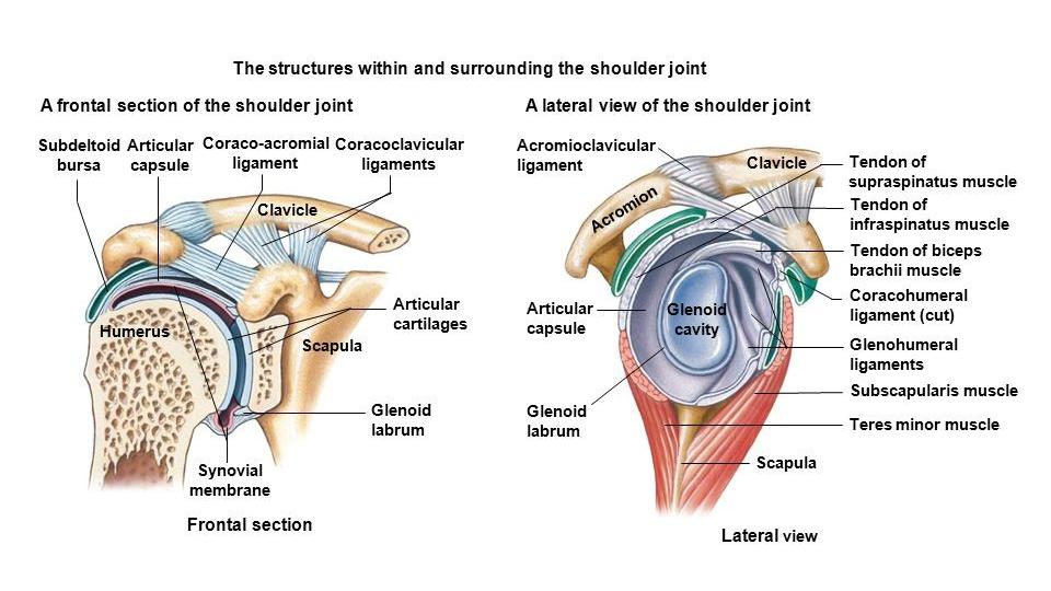 Slika anatomije rame.